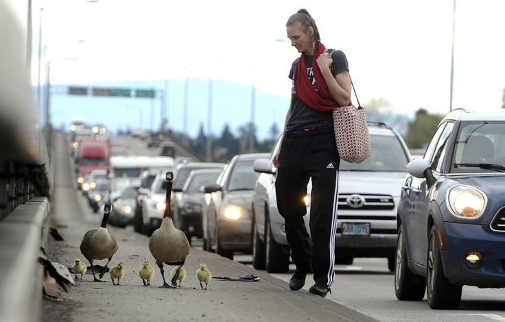 Kim Giroux helps herd a gaggle of geese down a sidewalk past heavy traffic across the Ross Island Bridge in Portland, Oregon, on April 25, 2017. All made it safely across.