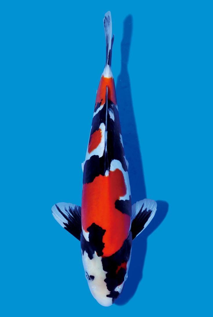 Les 56 meilleures images du tableau koi sur pinterest for Croisement carpe koi poisson rouge