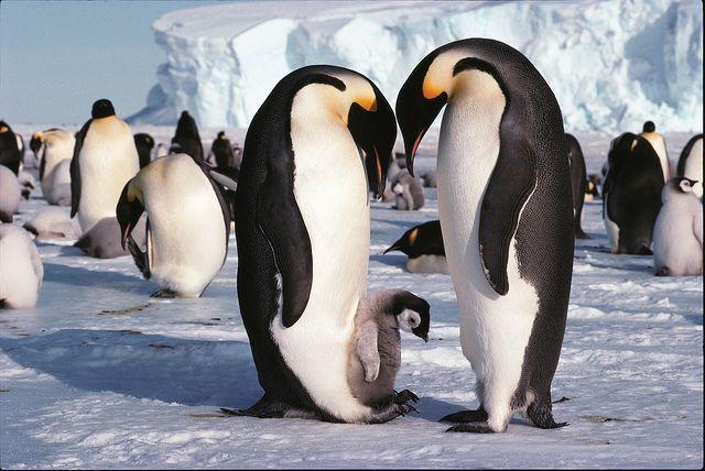Admiring the baby: Babies, Baby Penguins Sooooooooooo, Animals Penguins, Antarctica Button, Baby Animals, Travel, Emperor Penguins, Birds