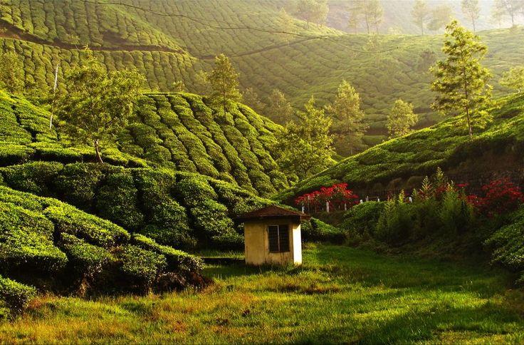 teaplantation08 Зеленые ковры чайных плантаций в Индии