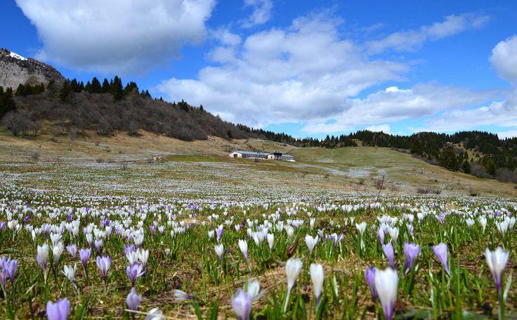 la fioritura dei #crocus sul monte peller.. siete pronti per ammiraral dal vivo! #dafarealpineta