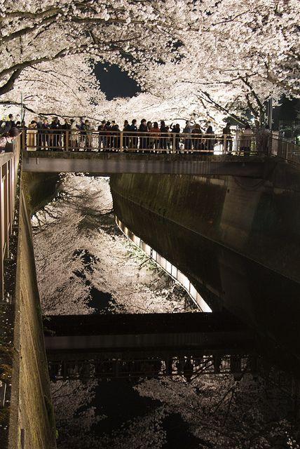 Cherry trees at night: Setagaya, Tokyo, Japan