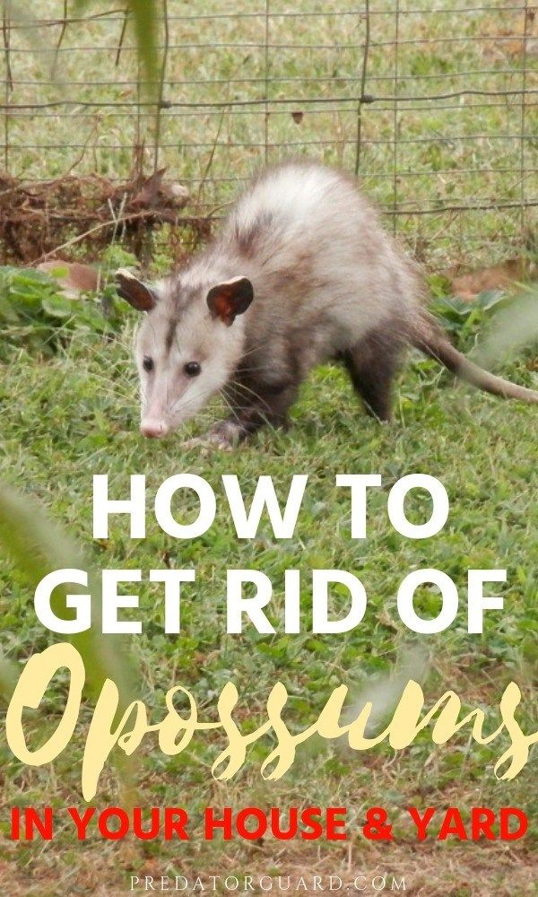 How To Get Rid of Opossums In Your House and Yard #wildlife #animals #homesteading