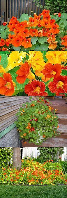5 секретов выращивания настурции