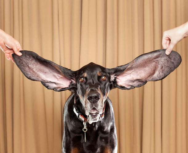 harbors left and right ears measure 1225 inches and 135 inches respectively 40 guinness world