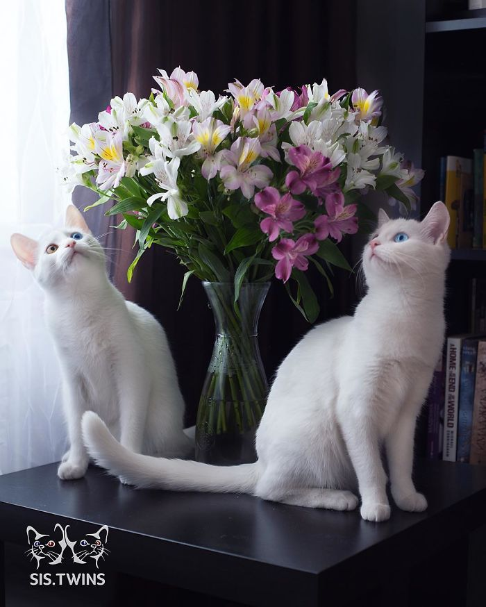 Meet The Most Beautiful Twin Cats In The World | Bored Panda