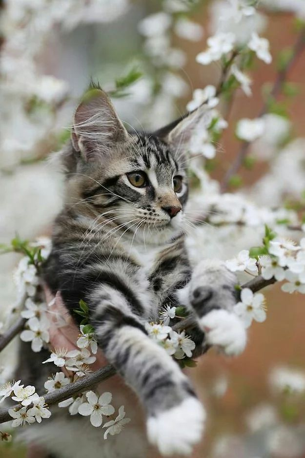 adorable kitty cat at tree ( blossom ) #white kitten aww