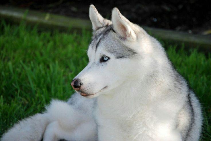 Husky Frases: Beautiful Plomo Husky