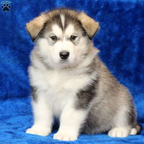 Blizzard Alaskan Malamute Puppy For Sale In Pennsylvania