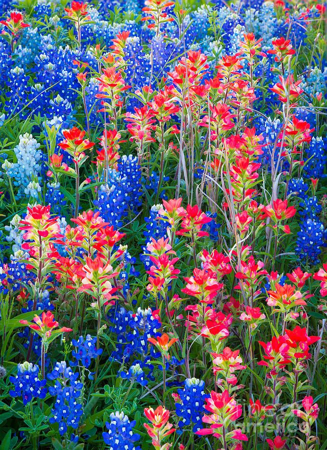 ✯ Texas Paintbrush and Bluebonnets in Ennis, Texas