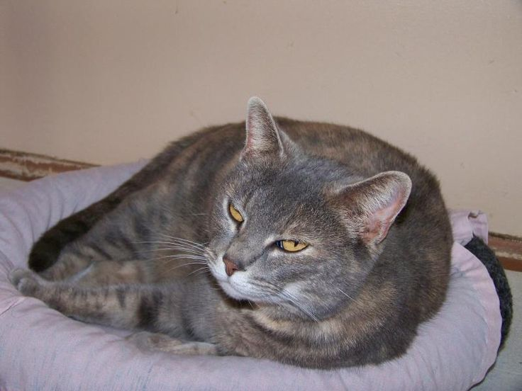 "Meet Katie, a Petfinder adoptable Tabby - Grey Cat | Vine Grove, KY | Katie or ""Katie Bear"" as her friends call her is a 4 year old grey Tabby/Tortoiseshell. This gall..."