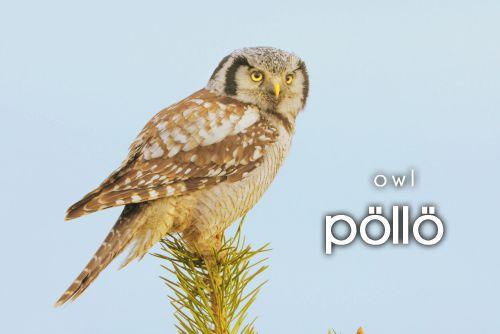 pöllö ~ owl