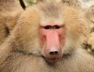 """""""O Grito do Bicho"""": Babuíno sobrevive quase 3 anos com coração de porc..."""