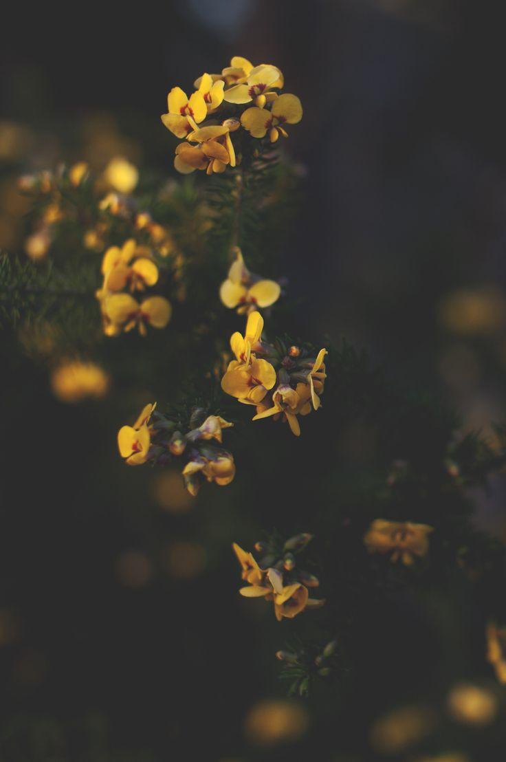 Bush flower Australia photo: Andreas Valsberg