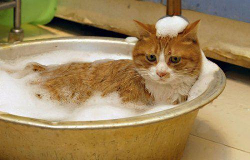 Como dar banho a um gato