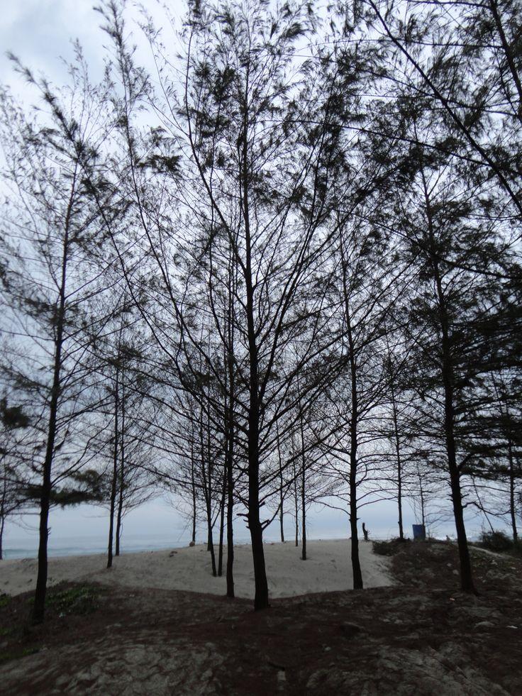 Hutan Pinus. Pantai Sepanjang. Bengkulu