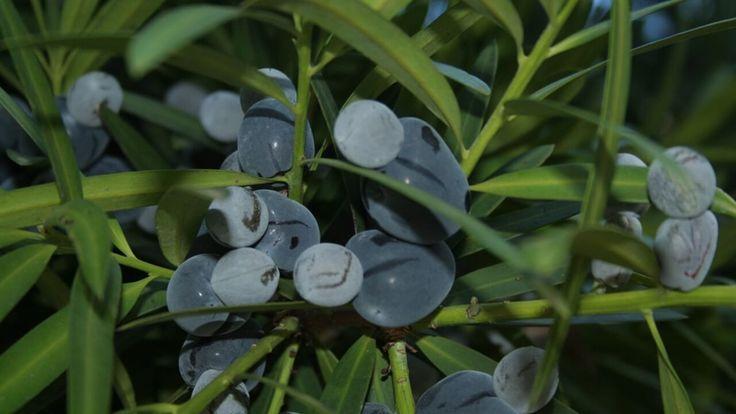 Illawarra Plum – Podocarpus elatus nice Tucker Bush plant!