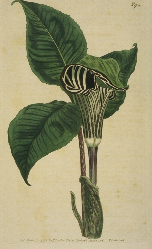 Zebra-flowered arum, commonly known as jack-in-the-pulpit. The Botanical Magazine, vol. 24, 1806. Sydenham Edwards, illustrator.