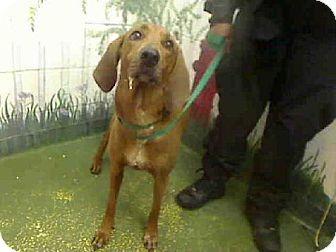 #GEORGIA #URGENT ~ Wenty ID A453939 is a Redbone Coonhound in need of a loving #adopter or receiving #rescue at FULTON COUNTY ANIMAL CONTROL   860 Marietta Blvd NW   #Atlanta Georgia 30318    ac.info@fultoncountyga.gov   adoptions@fultoncountyga.gov Ph 404-613-0357