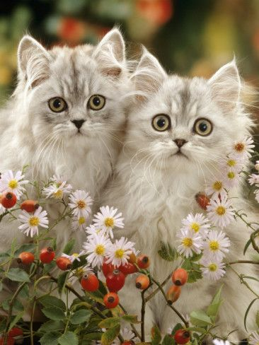 ✯ Two Silvertabby Persian Kittens