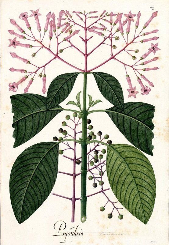 Psycothria. Proyecto de digitalización de los dibujos de la Real Expedición Botánica del Nuevo Reino de Granada (1783-1816), dirigida por José Celestino Mutis: www.rjb.csic.es/icones/mutis. Real Jardín Botánico-CSIC.