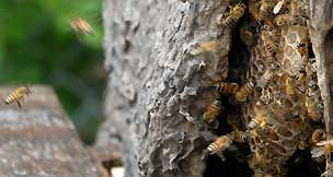 University of Florida African Honey bee Extension and Education Program