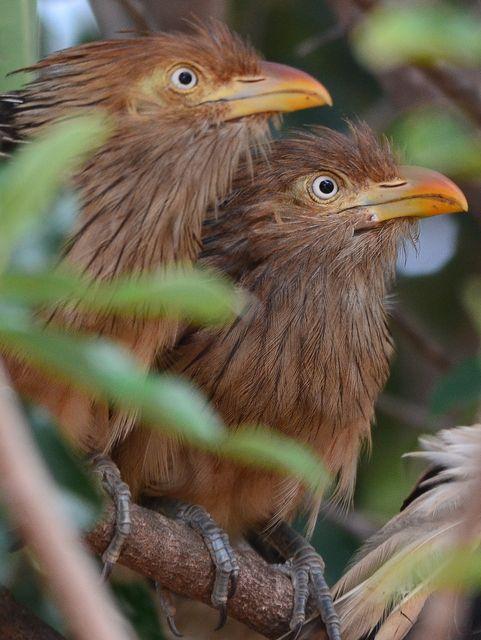 Guira Cuckoos. (Wiki Aves: A Enciclopédia das Aves do Brasil.)