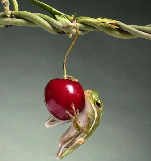 """""""The Cherry and the Frog"""" by Happy Jack"""