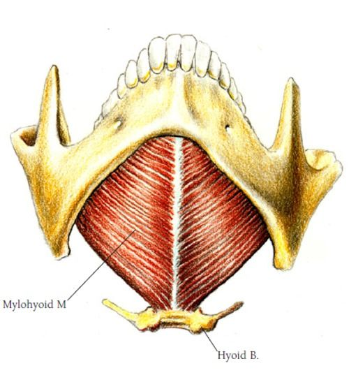 Other Terms  Musculus Mylohyoideus  Muscle Mylo