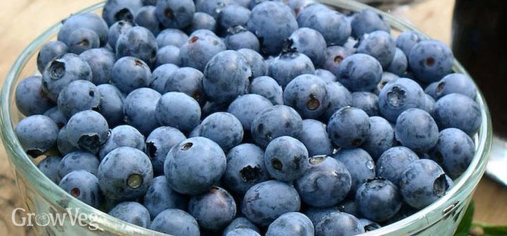 Why every edible landscape needs blueberries