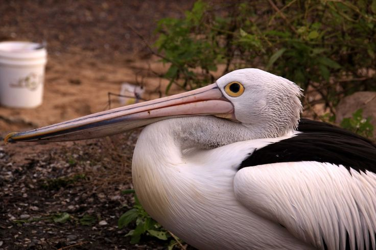 Pelican profiles. Hawkesbury River, New South Wales.