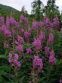 """When Alaska Hands You Fireweed - Fireweed blossom jelly and """"honey"""" (sort of jam)"""