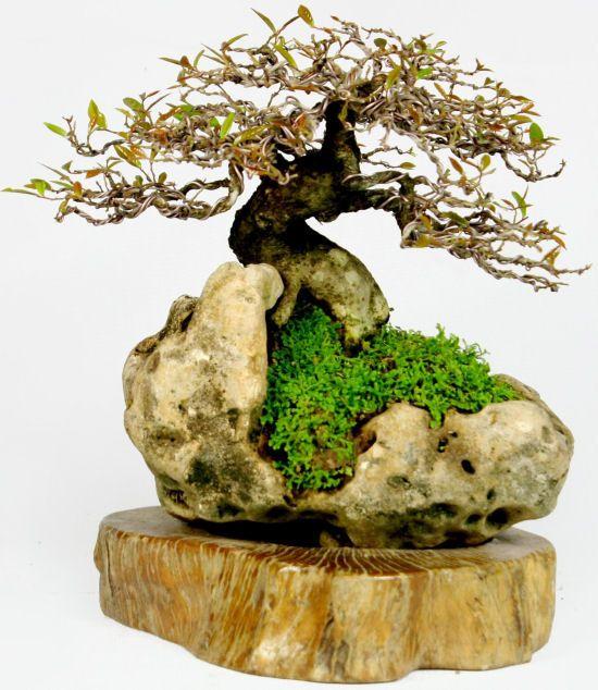 270 best bonsai images on Pinterest Bonsai plants, Fruit trees and - mini jardin japonais d interieur