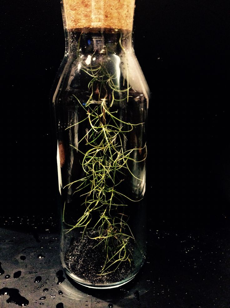 Bottled Spanish moss  By Euphorbia Botanical