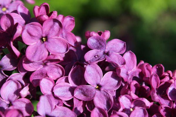 Flieder, Edelflieder Sarah Sands: Syringa vulgaris Sarah Sands: Amerikanischer Flieder, kräftig wachsende Sorte mit dunkelroten einfachen Blüten