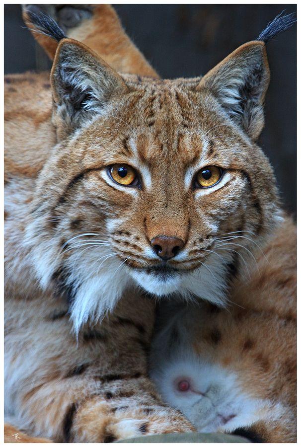Eurasian Lynx by Tobi Know  Very beautiful cat