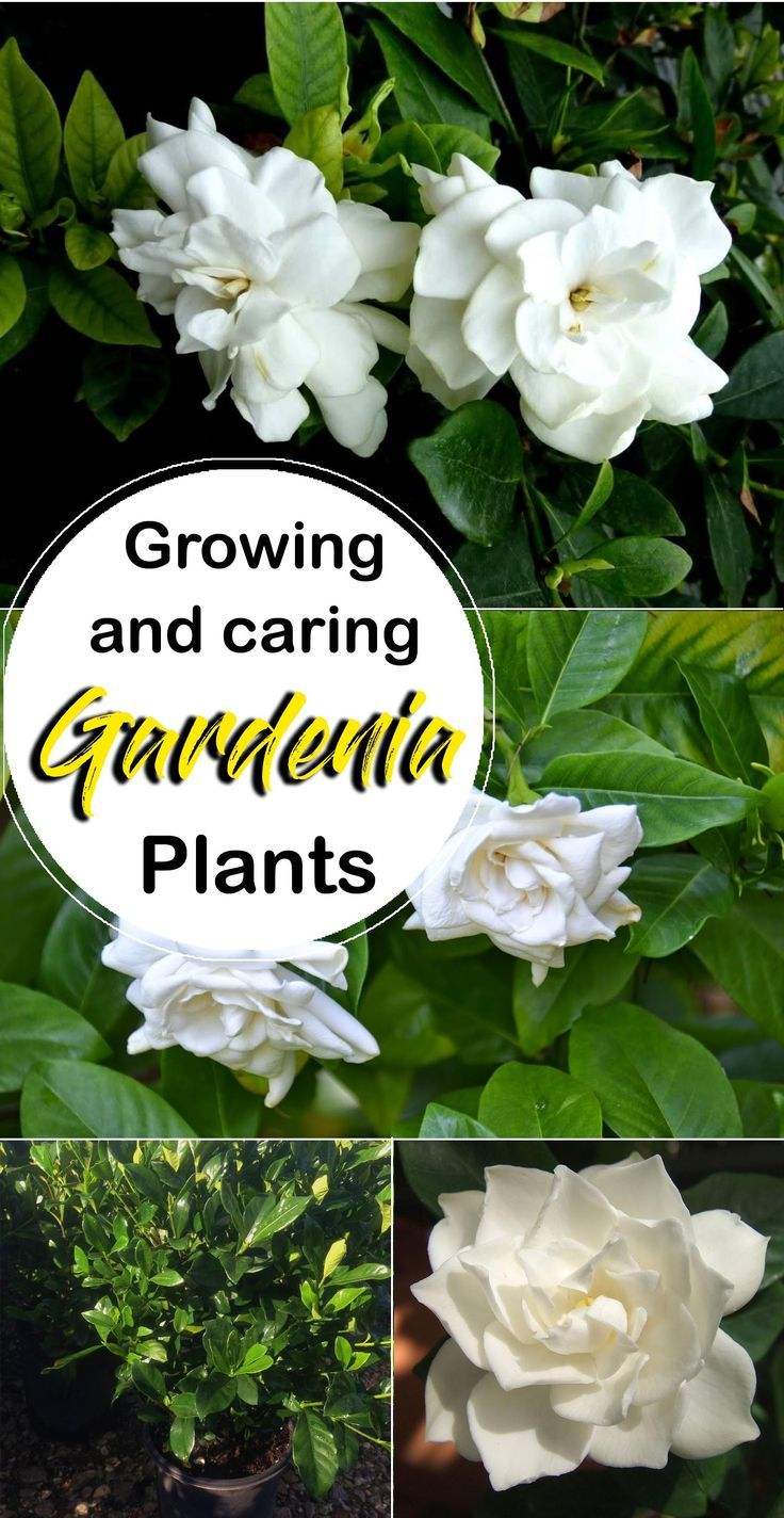 Wachsende Gardenia Pflanze Gardenia Plant Growing Gardenias Gardenia Trees