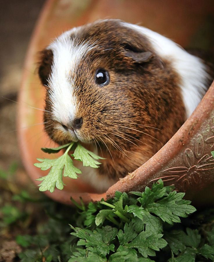: Here we see is a majestic adorable Guinea Pig eating an ordinary plant, although the Guinea pig is extraordinary... *Rambles On And On* :