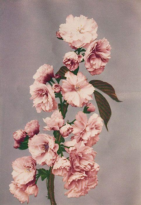 "Japanese yaezakura cherry blossom from Kazumasa Ogawa's series entilted ""Some Japanese Flowers"" (1896)"