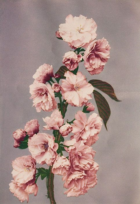 "Japanese yaezakura cherry blossom from Kazumasa Ogawa's series entilted ""Some Japanese Flowers"" (1896)"