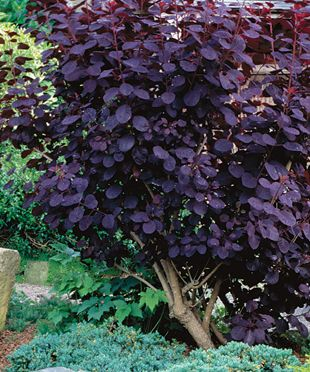 The Only Shrubs You Need to Grow...I think this would really add to our dull yard.  This is a picture of purple smoke bushe that ignites the border. Their stems grow straight up like pipe cleaners, a habit which makes them useful additions to any border in need of diverse forms.