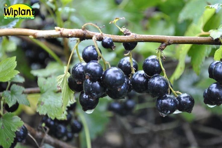 Ribes nigrum 'Storklas', svarta vinbär. Upprättväxande svensk sort. Mycket stora bär, sen. Kvistarna böjs lätt ner av bärtyngden. Passar bra till spalje. Ev. känslig för gallkvalster.