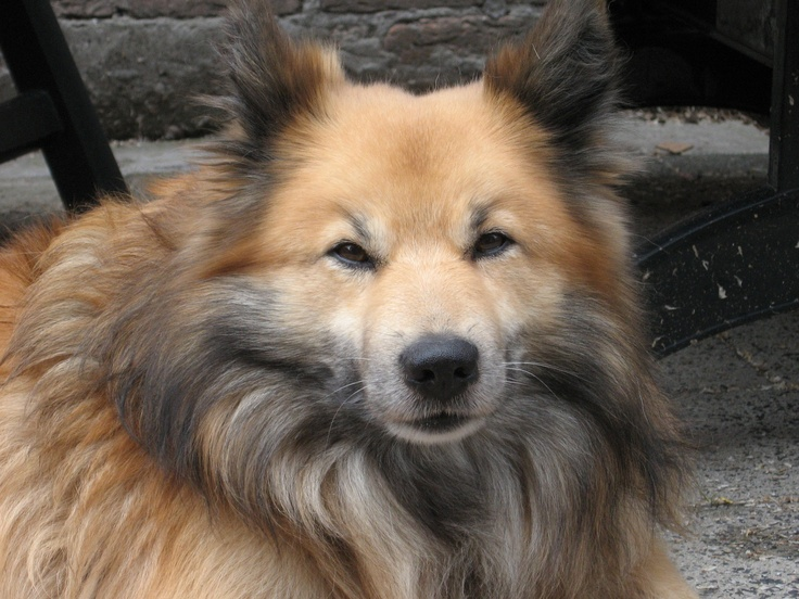 Tvistur fra Fridarstödum, my best friend ever! Geboren 20 april 1998-overleden 31 juli 2012 (ijslandse hond)