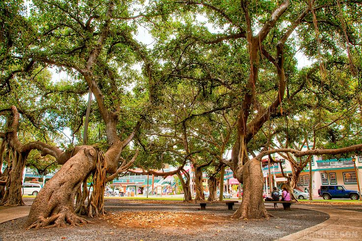 TOP 10 Maui Attractions.. the BIG banyan tree is awesome to see!