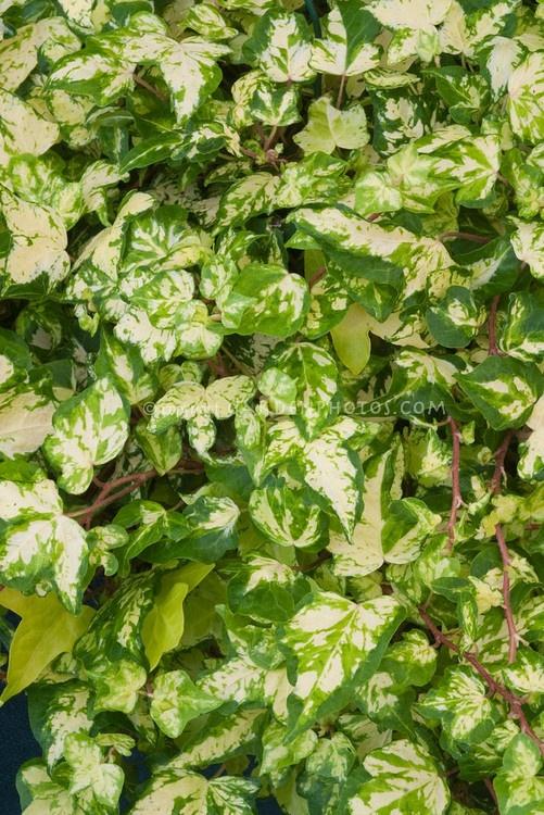 Hedera helix 'Golden Jytte' English ivy