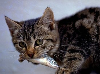 Great info about species appropriate diet for your kitties. Mine LOVE their raw foods.