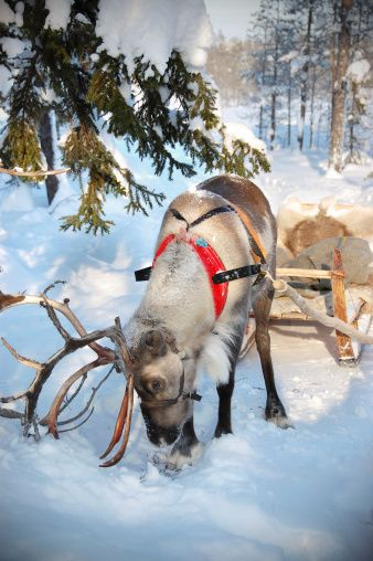 In Finland you can take part in sleigh rides lead by Rudolph #Finland #Lapland #Winter