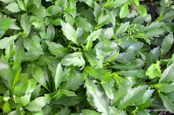 Kalimeris Indica Also Known As Indian Aster Or Indian Kalimeris Is A Flowering Herbaceous Perennial Plant Of T Herbaceous Perennials Edible Wild Plants Herbs