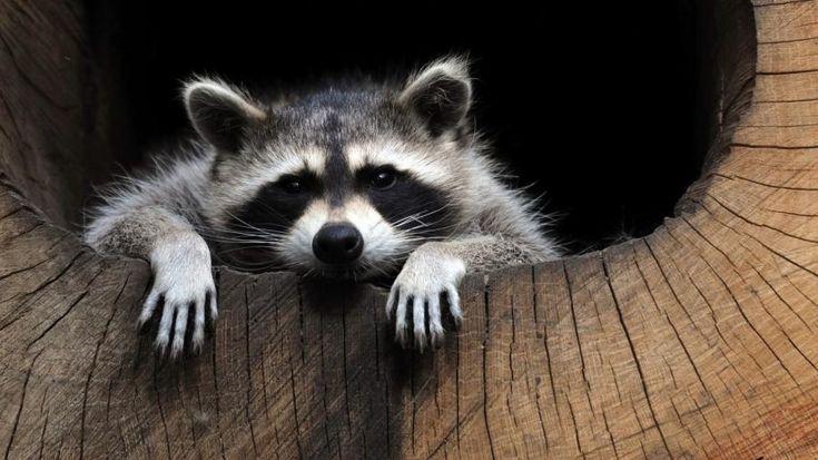 Raccoon Forest Animals Pet Raccoon Animals