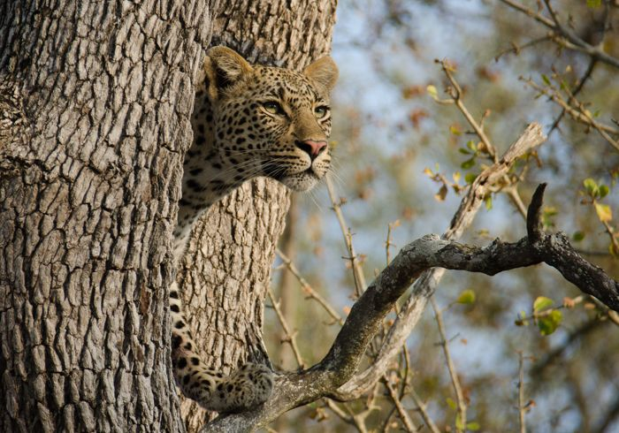 The Tamboti young female watches as the Piva male claims her bushbuck that she managed to kill just moments before. Male leopards will steal food from females, and most of the time, they will chase the females off and not allow them to eat. Photograph by Kevin Power